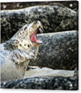 Harbor Seal Acrylic Print