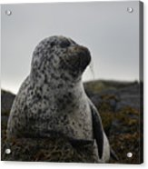 Harbor Seal In Stormy Weather Acrylic Print