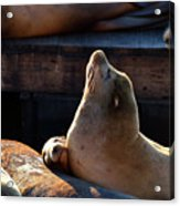 Harbor Seal In The Sun Acrylic Print