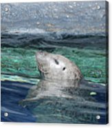 Harbor Seal Poking His Head Out Of The Water Acrylic Print