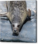 Harbor Seal Ready To Plunge Into The Water Acrylic Print