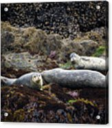 Harbor Seals Basking - Oregon Coast Acrylic Print