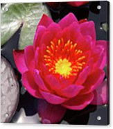 Hardy  Day Water Lily Acrylic Print