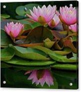 Hardy Pink Water Lilies Acrylic Print
