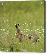 Hare On The Run Acrylic Print