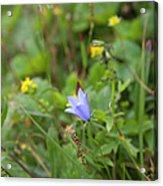 Harebell - Campanula Rotundifolia - Flower Acrylic Print