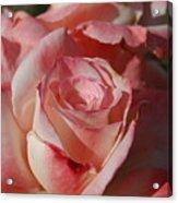 Harlekin Rose Acrylic Print