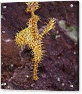 Harlequin Ghost Pipefish - Solenostomus Paradoxus Acrylic Print