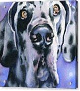 Harlequin Great Dane Acrylic Print