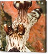Harlequin Shrimp Hymenocera Elegans Acrylic Print