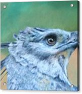 Harpy Eagle Two Acrylic Print