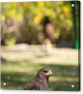 Harris Hawk Looking At Infinity Acrylic Print