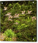 Harris Neck Ibis In Flight Acrylic Print