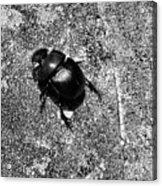Harsh Life Black White Life Is Dung Beetle Card Acrylic Print