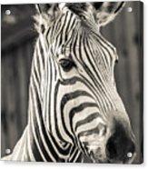 Hartmann's Mountain Zebra 2 Acrylic Print