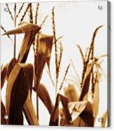 Harvest Corn Stalks - Gold Acrylic Print