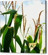 Harvest Corn Stalks Acrylic Print