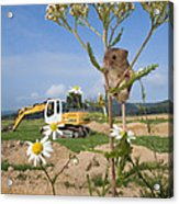 Harvest Mouse And Backhoe Acrylic Print