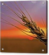 Harvest Sunset Acrylic Print