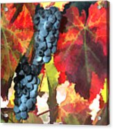Harvest Time Grapes And Leaves Acrylic Print by Elaine Plesser