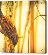 Harvest Time II Acrylic Print