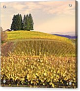 Harvest Time In A Vineyard Acrylic Print by Margaret Hood
