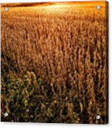 Harvest Twilight Acrylic Print