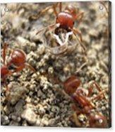 Harvester Ants 3 Acrylic Print