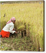 Harvesting Rice Acrylic Print