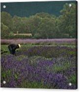 Harvesting The Lavender, Long Island Acrylic Print