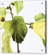 Hau Plant Art Acrylic Print