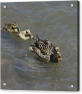 Having Your Duckies In A Row  Acrylic Print