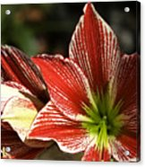 Hawaii Flora 11 Acrylic Print