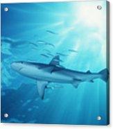 Hawaii Galapagos Shark Acrylic Print