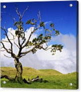 Hawaii Koa Tree Acrylic Print