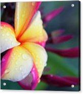 Hawaii Plumeria Flower Jewels Acrylic Print