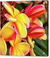 Hawaii Plumeria Flowers In Bloom Acrylic Print