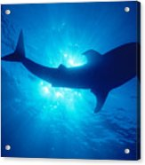 Hawaii, Whale Shark Acrylic Print
