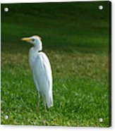 Hawaiian Cattle Egret Acrylic Print