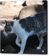 Hawaiian Feral Cat 2 Acrylic Print