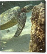 Hawaiian Green Sea Turtle Acrylic Print