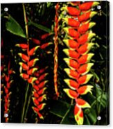 Hawaiian Heliconia Acrylic Print