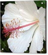 Hawaiian Hibiscus 2 Photograph Acrylic Print