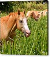 Hawaiian Horses In Sugar Cane Acrylic Print