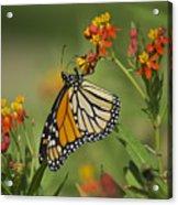 Hawaiian Monarch 2 Acrylic Print