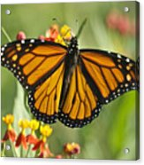 Hawaiian Monarch 3 Acrylic Print