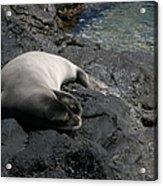 Hawaiian Monk Seal Ilio Holo I Ka Uana Acrylic Print