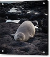 Hawaiian Monk Seal Acrylic Print