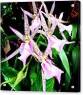 Hawaiian Orchid 31 Acrylic Print