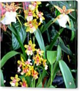 Hawaiian Orchid 36 Acrylic Print